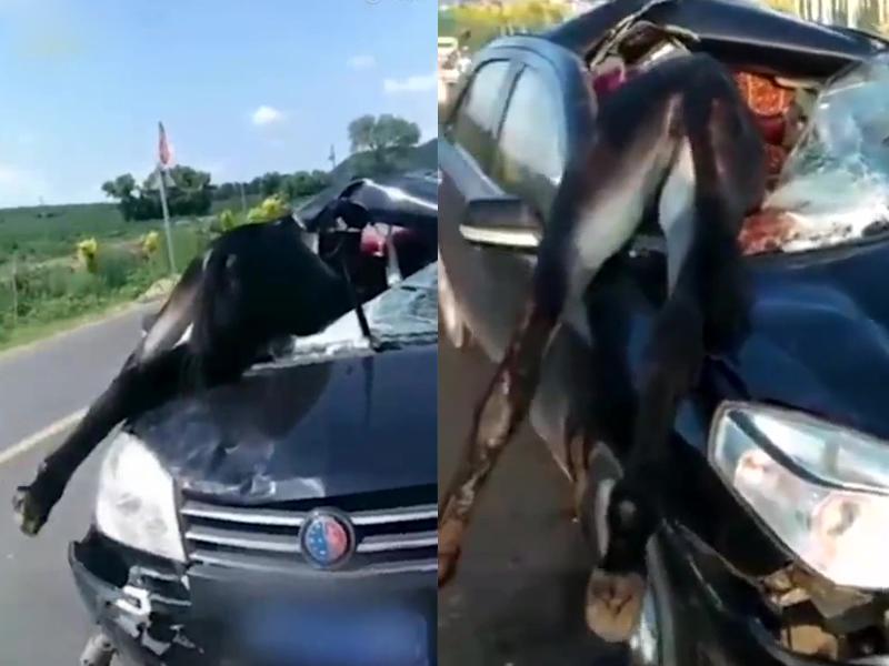 毛驢與私家車發生車禍,撞破擋風玻璃撞進副駕駛座當場死亡。(網圖)