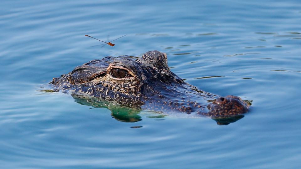 目前還無法確定冰毒會對鱷魚造成什麼影響。 AP/示意圖