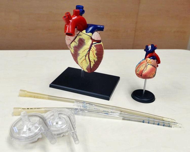 左為成年心臟,右為小童心臟。