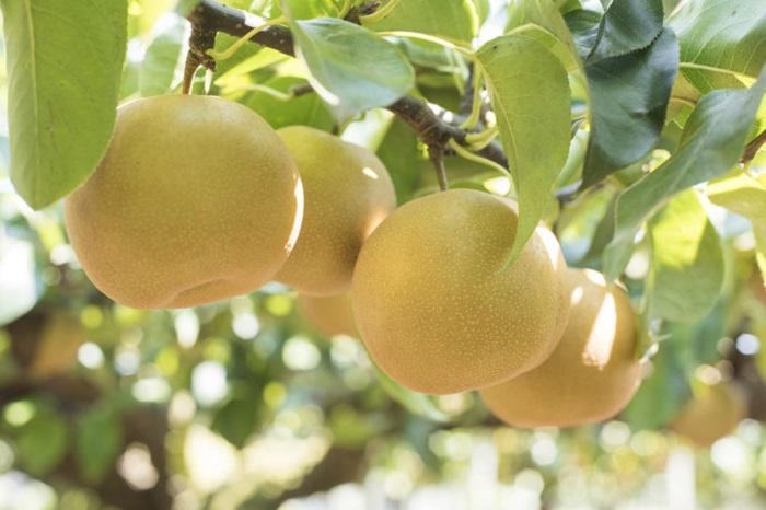 梨。網上圖片