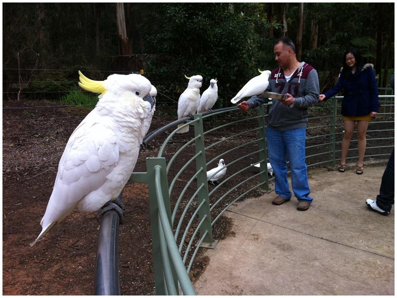 多數遊客都會到丹農頓國家公園(Dandenong Ranges)餵鸚鵡。網圖