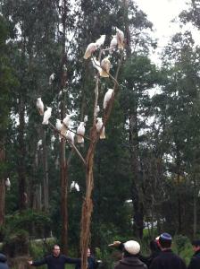 居民擔心鸚鵡聚集。網圖