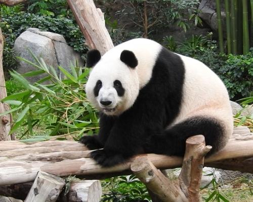 大熊貓「盈盈」出現典型妊娠癥狀 海洋公園:不排除假懷孕