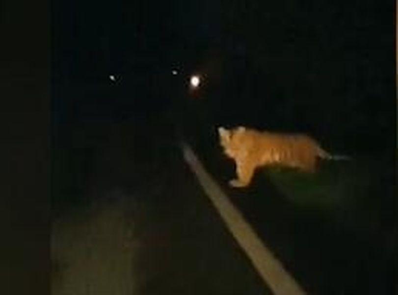 有市民發現東北虎在吉林公路附近出現。網圖