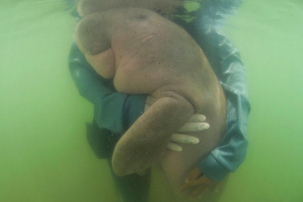 這隻被列為易危海洋生物的儒艮因吃進塑膠垃圾,引致胃阻塞和腸道發炎。AP