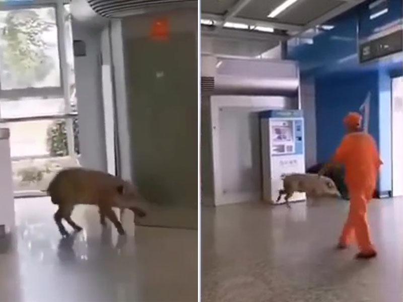 有一隻體重達60公斤的野豬闖入南京站,被工作人員驅趕後逃之夭夭。(網圖)