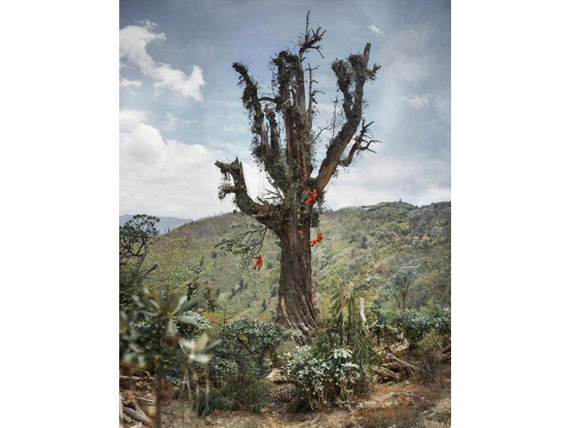雲南大理展出樹齡1100年的雲南鐵杉王首張等身照。(網圖)