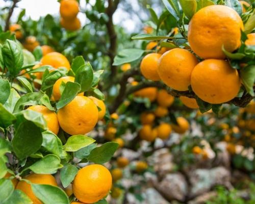 【健康Talk】食柑橘有助預防骨質疏鬆 日研究指減92%風險