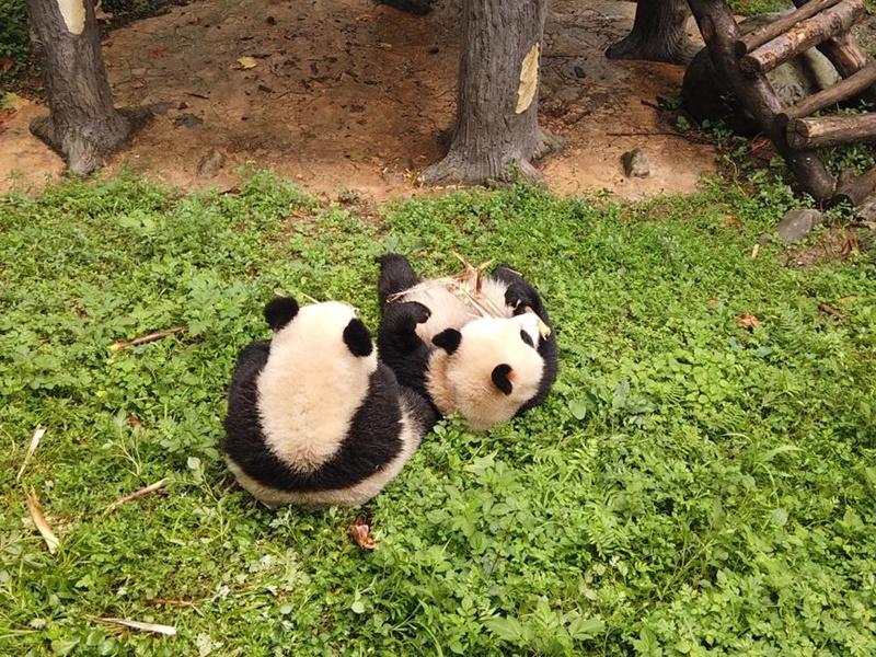 四川一對初生龍鳳胎熊貓命名為「四海」「⼀家」。