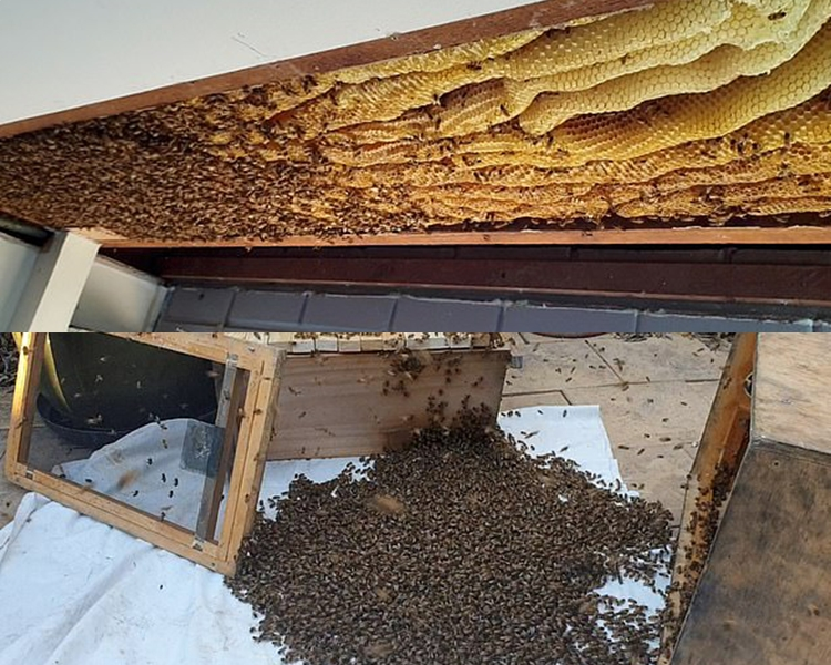 巨型蜂巢重50公斤,棲息了近6萬蜜蜂。 網圖