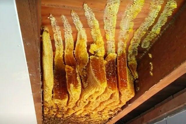 屋內天花板藏著一個超巨型蜂巢。 網圖