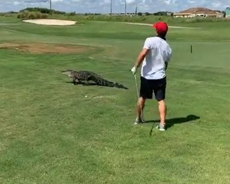 球手氣定神閒直情當鱷魚「無到」。網圖
