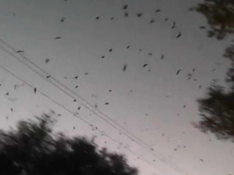 河北大批燕子翱翔盤旋。網上圖片