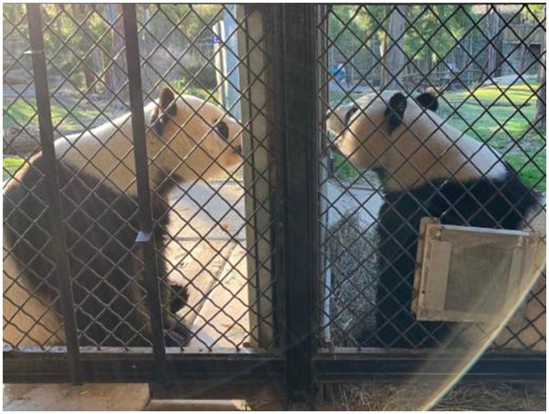 大熊貓美香(右)與添添(左)。網圖