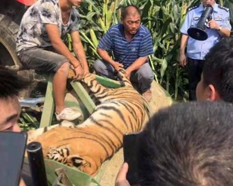 1虎被捕獲後證實死亡。網圖