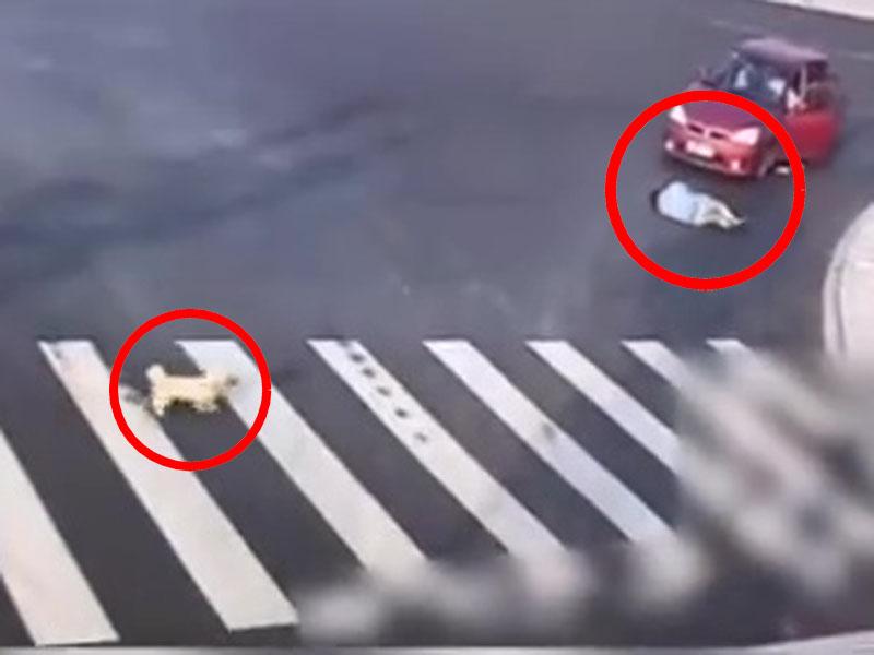 男子亂過馬路遭紅車撞倒。此時,一條小狗經過路口時,經斑馬線過馬路,現場給男子上了一課。(網圖)