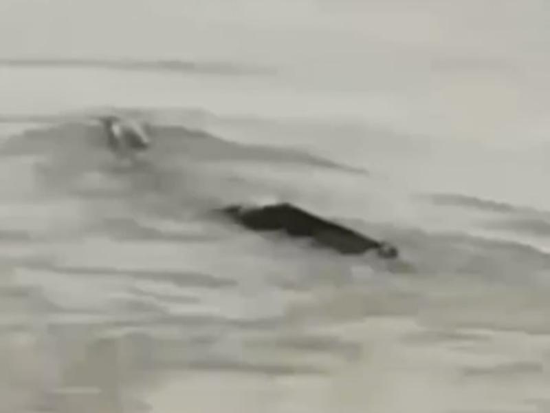 湖北宜昌市一名網民日前在三峽大壩壩區拍到一隻身形瘦長的神秘生物在水中載浮載沉。 影片截圖