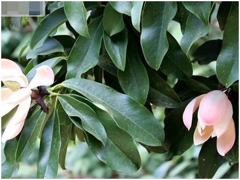 雲南大理首次發現極危物種雲南木蓮。網圖