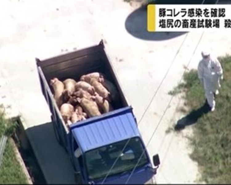 秩父市一處養豬場約800隻豬被全數撲殺。網圖