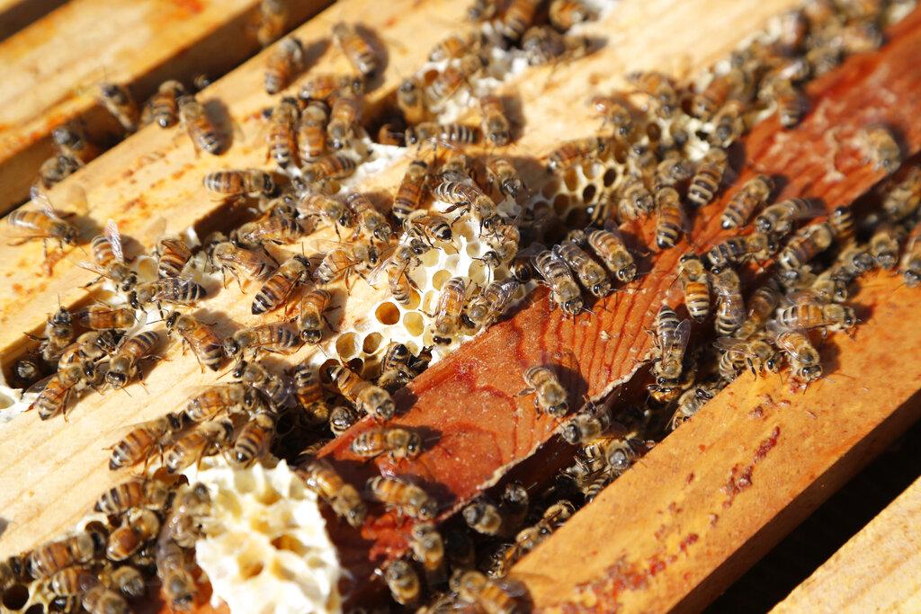 巴西近5億蜜蜂農藥中毒暴斃,或會引爆糧食戰爭。AP