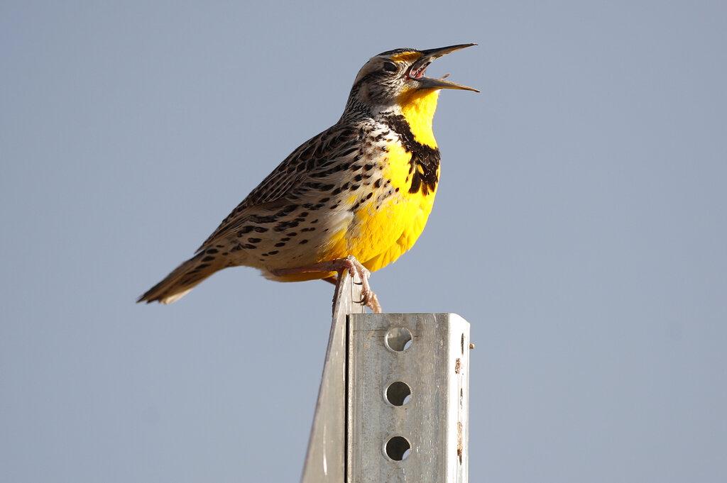 最新研究警告,美加地區的鳥類數量較50年前,減少29億,減幅接近三成。 AP