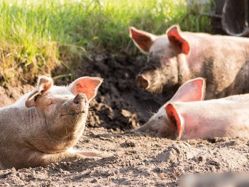 澳洲政府作出最新防範非洲豬瘟措施。網圖