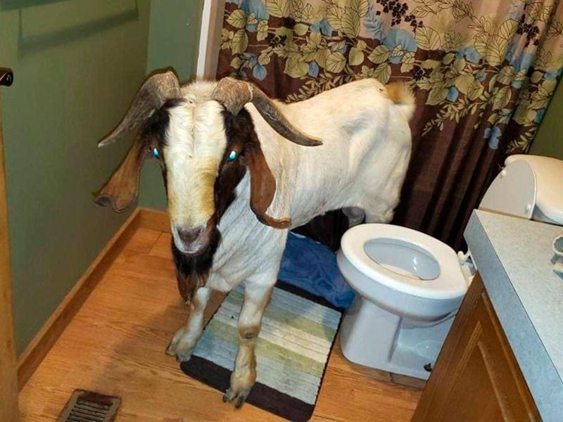 美國俄亥俄州一隻山羊闖入一戶家庭,浴室當睡房睡覺。AP
