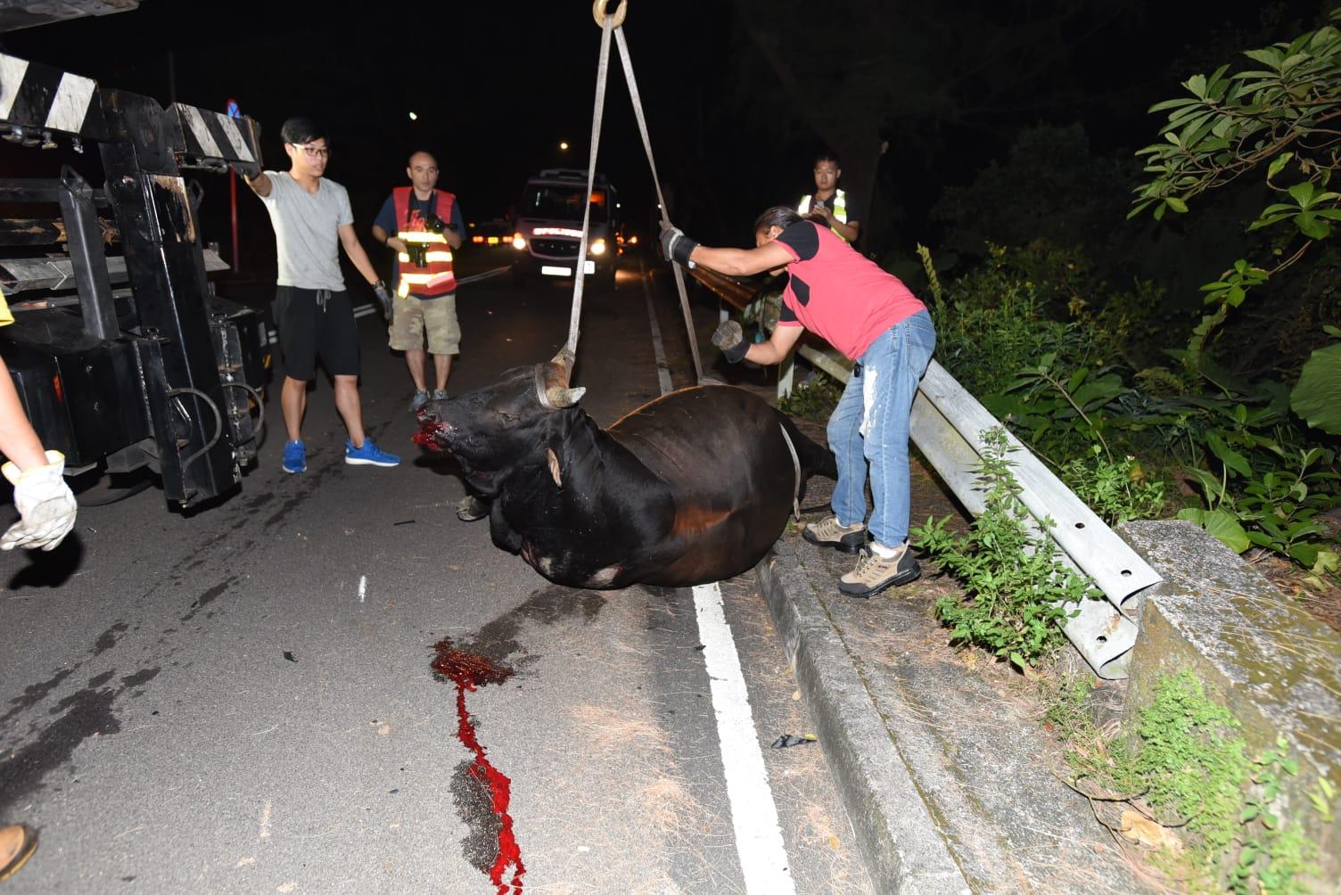 拖車吊起牛屍移往路邊。
