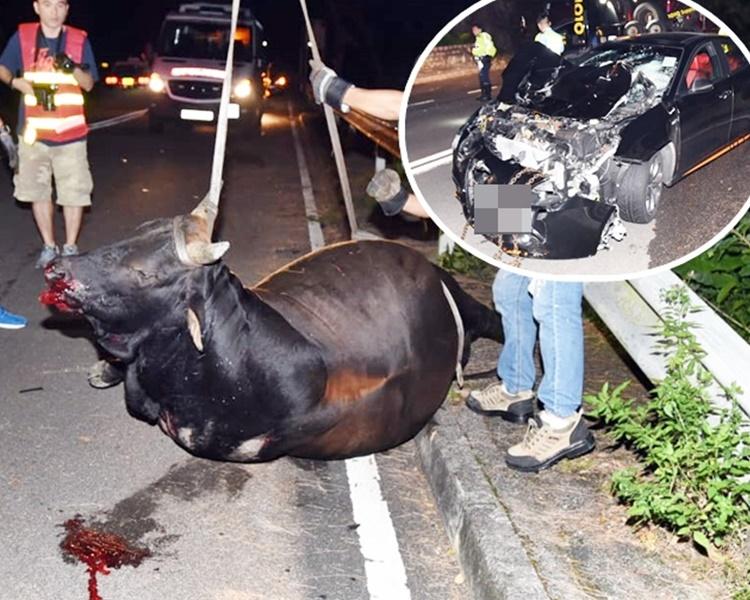 拖車吊起牛屍移往路邊。小圖為車頭嚴重損毀的私家車。