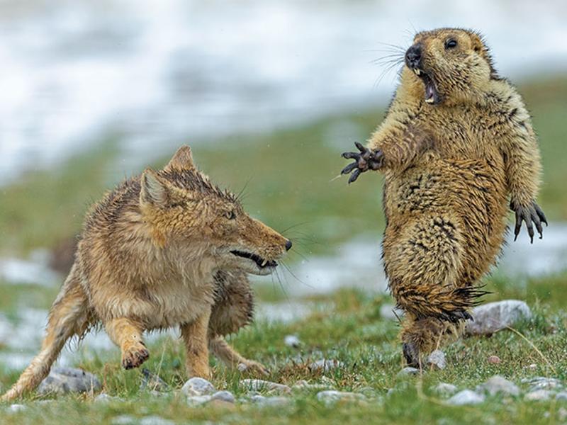 包永慶捕捉到一頭狐狸撲食一隻土撥鼠的瞬間。網圖