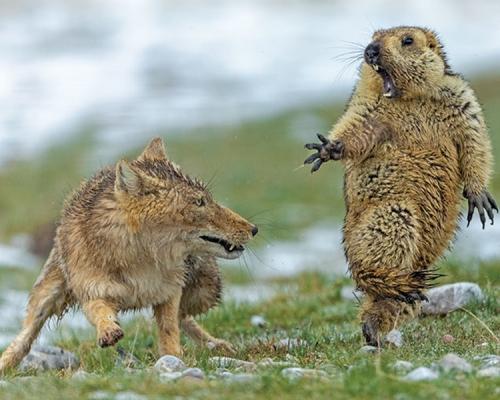 土撥鼠驚避狐狸瞬間 中國攝影師獲野生動物攝影大獎