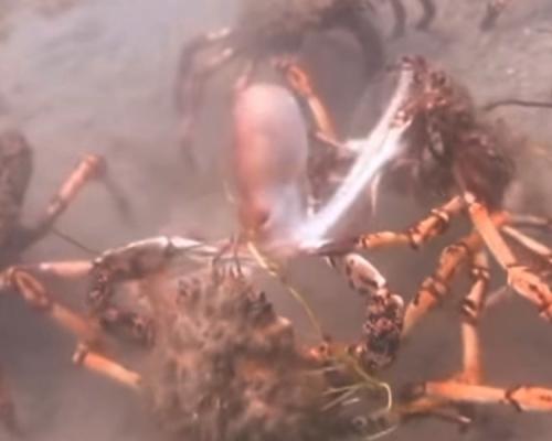誤闖巨型螃蟹地盤  章魚慘遭「圍攻分屍」