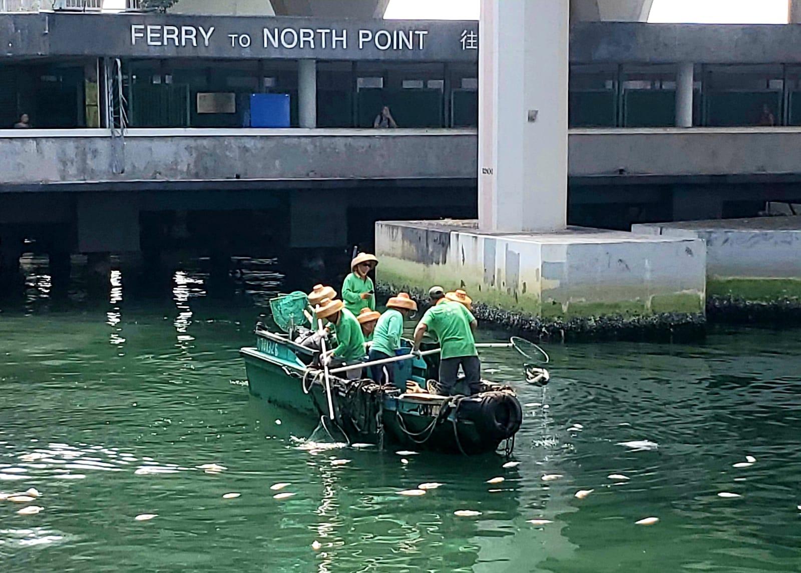 海事處早上派外判清理船到場撈走死魚。