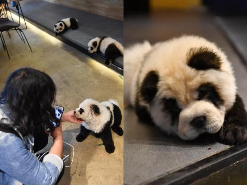 涉事寵物咖啡館「糖果星球」為犬隻染色成熊貓模樣。