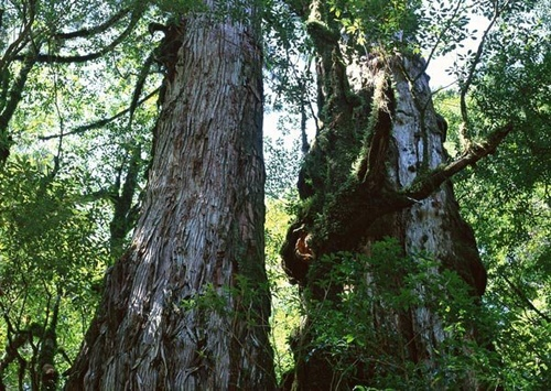 首里城是由台灣專程運來的高級檜木打造,當年的重建工作非常艱辛。 網圖