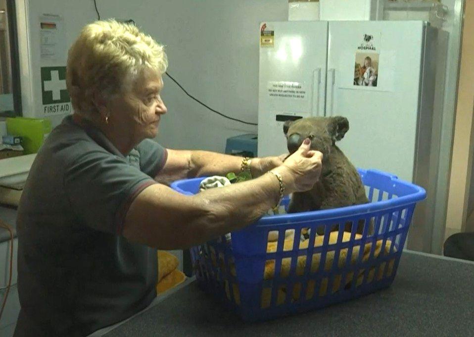 小樹熊乖巧地坐在膠籃內讓工作人員餵食。網圖