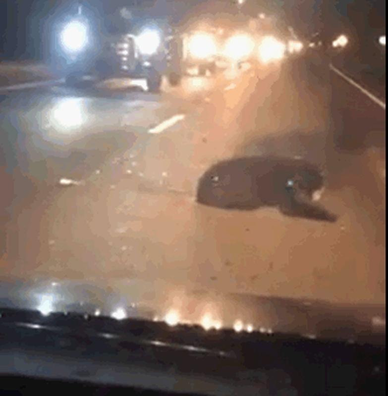 小熊被車撞倒無法行走。fb