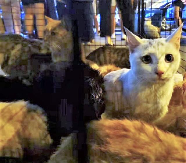 海南警察截獲3百多隻待屠宰貓咪。網上圖片