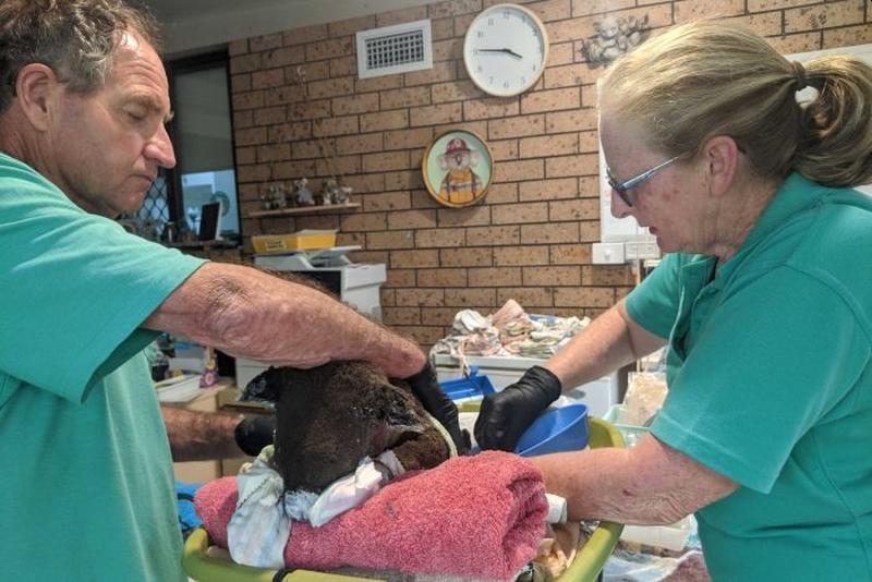 澳洲新南威爾斯省一對夫婦在家成立臨時燒燙傷中心,收容及治療受傷的樹熊。(電視截圖)
