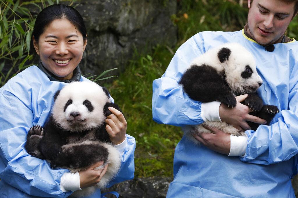 大熊貓雙胞胎「寶弟」(左)和「寶妹」(右)。AP