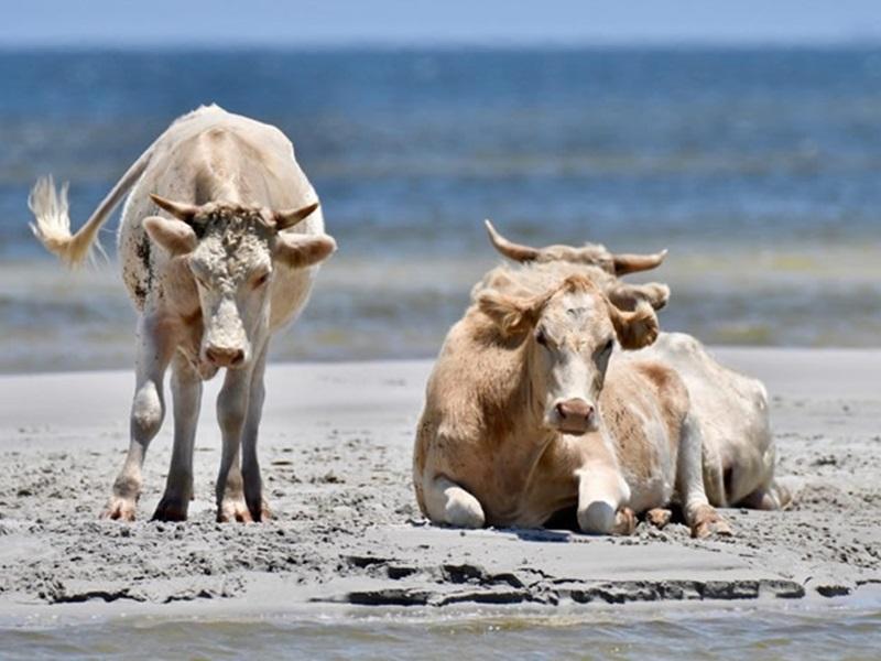 三頭乳牛在被捲入海中後,大約游了8公里,才到達安全地帶。網圖