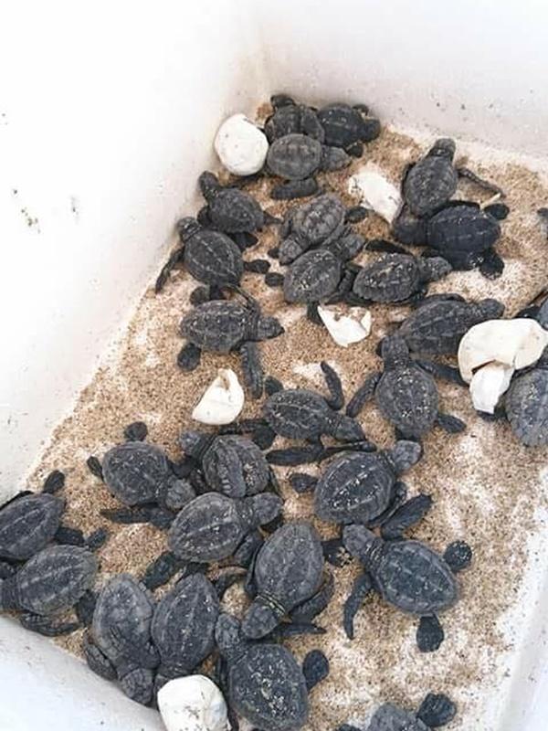 印度和墨西哥等國設有海龜保育工作營。受訪者提供