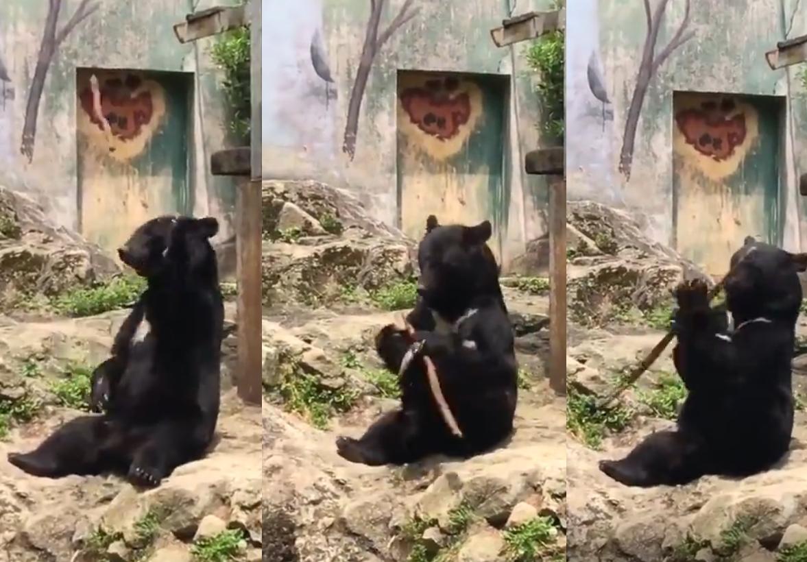 廣島動物園神奇黑熊 大耍木棍特技。影片截圖