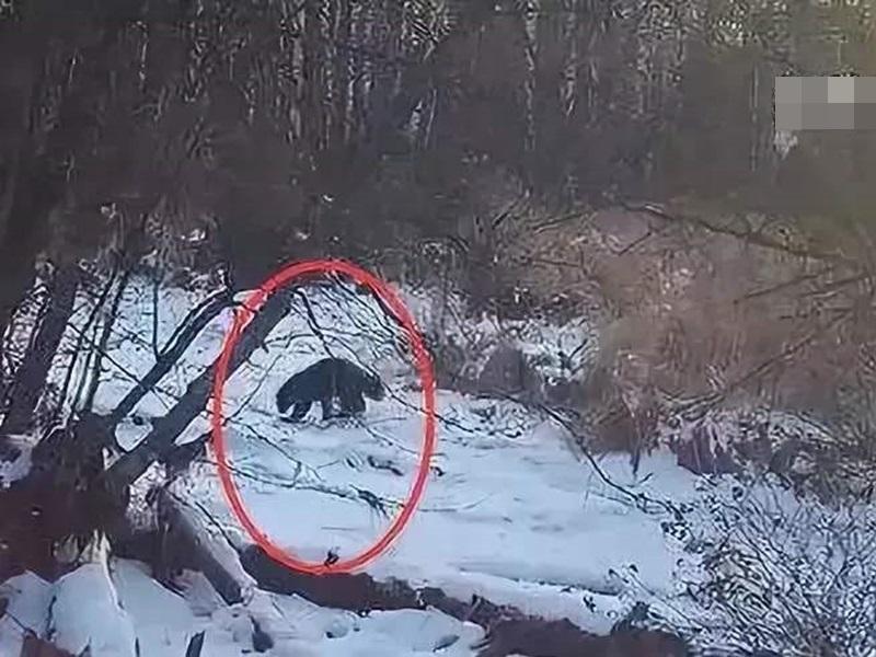 貂熊不斷在雪地中玩耍,十分活躍。網圖