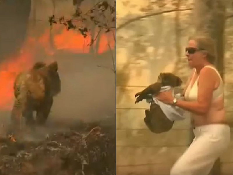 澳洲女子托妮眼見樹熊身陷火場,趕緊脫下上衣,冒險衝入火場將樹熊從樹上抱下來送醫。(網圖)