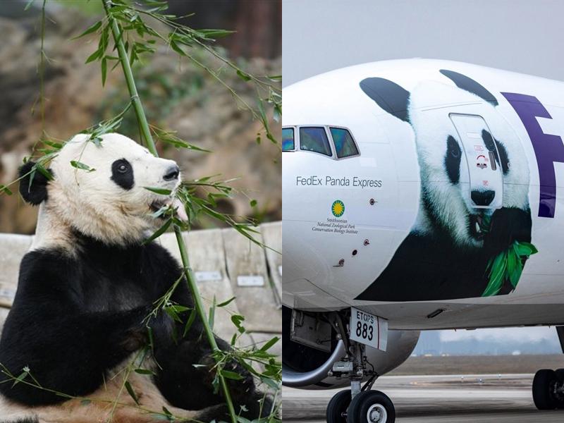 在美國出生的大熊貓貝貝,搭乘聯邦快遞專機安全回國。(網圖)