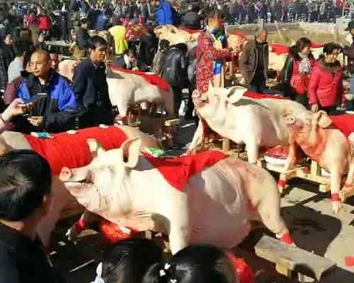 福建舉辦「晒豬節」  豬王淨重達約917磅歷年最大