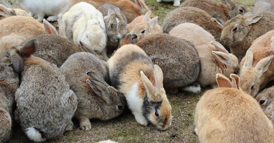 大久野島遊客太多不斷餵飼,兔子數量急增爭地盤受傷。網圖