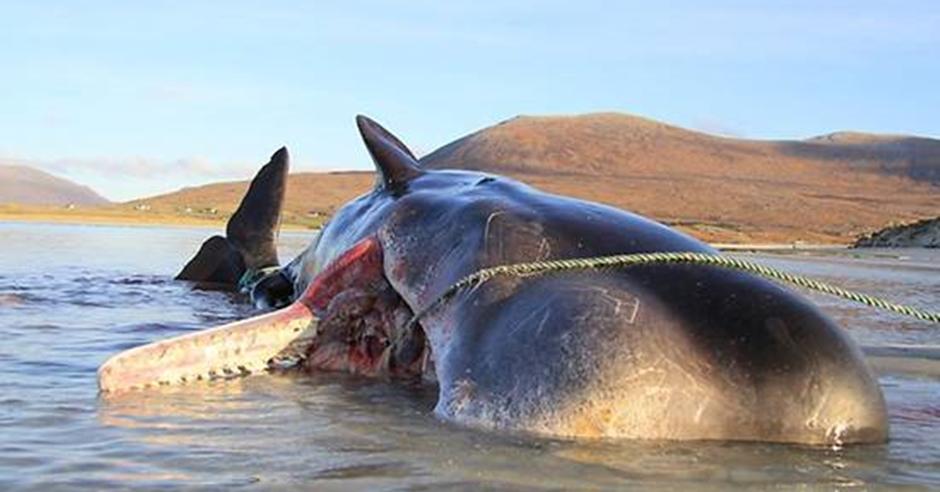 抹香鯨伏屍蘇格蘭哈里斯島。網圖