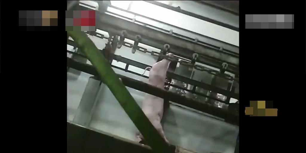 死豬被掛起後宰殺。網圖